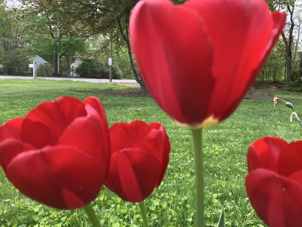 Red Tulips for Collage
