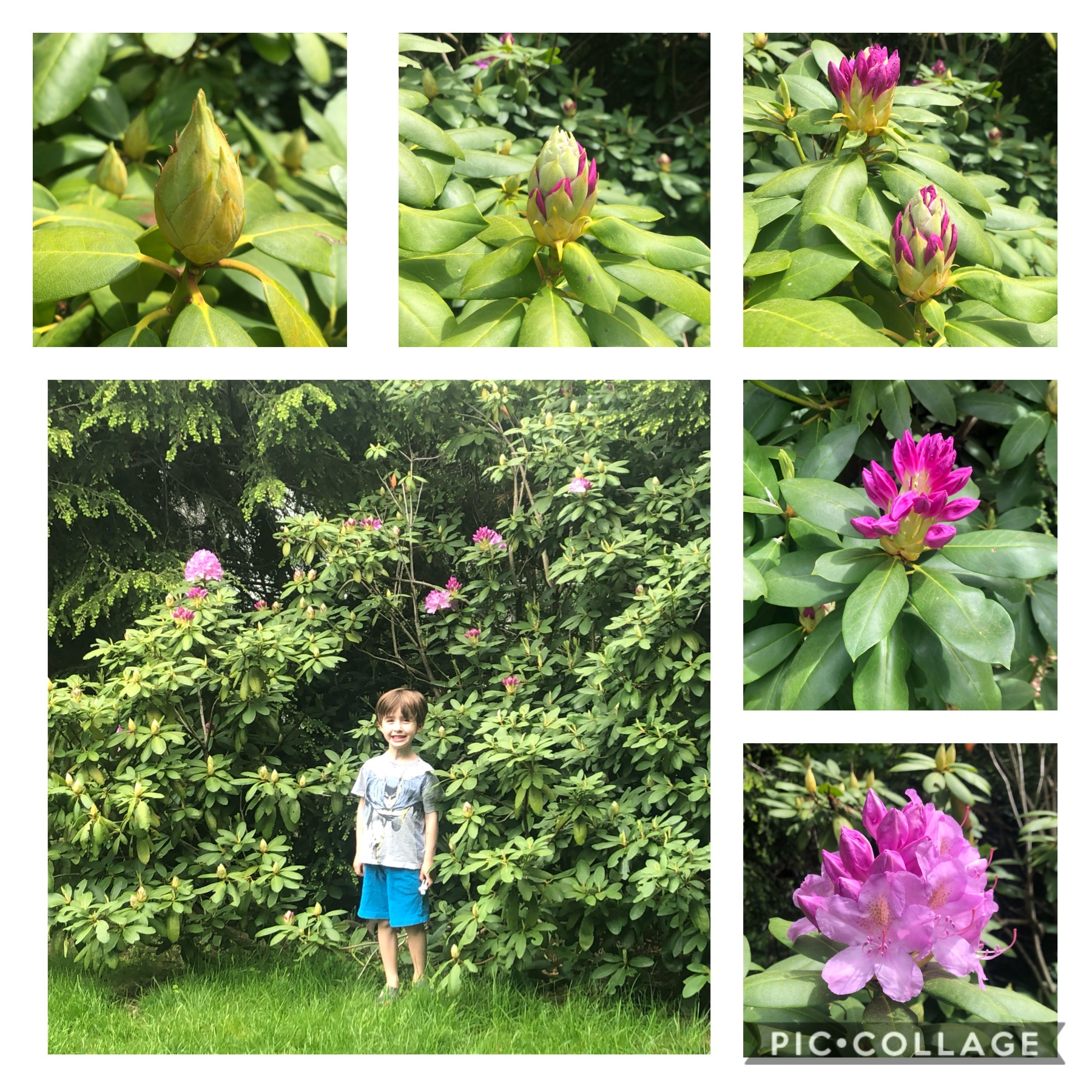Tracking the Rhododendron Blooms!